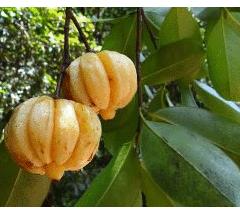 acido-hidroxicitrico-fruto-planta