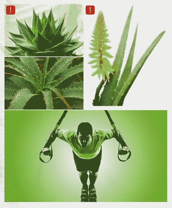 sabila-planta